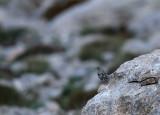 Alpine Accentor