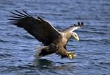 White Tailed (sea) Eagle