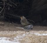 Sax Zim Bog winter Birding Festival Feb 2016