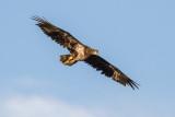 Bald Eagles - 14 July 2013