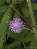 Sensitive Plant: Mimosa pudica
