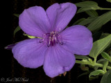 Princess Flower: Tibouchina urvilleana Athens Blue