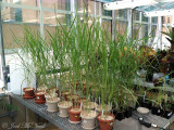 Switchgrass research plants