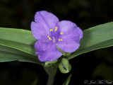 Virginia Spiderwort: Tradescantia virginiana