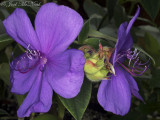 Princess Flower: Tibouchina urvilleana 'Athens Blue'