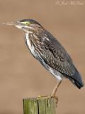 juvenile Green Heron: Bartow Co., GA