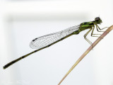 male Fragile Forktail