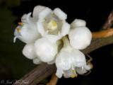 Cuscuta rostrata; Beaked Dodder