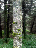 Fraser Fir trunk with mosses & lichens