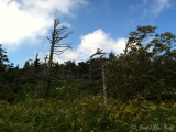 Flag trees; Mt. Mitchell, NC