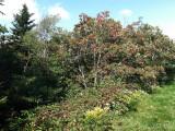 Sorbus americanus: Mountain Ash