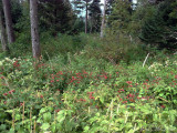 Monarda didyma: Bee Balm, Clingman's Dome