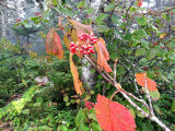 Viburnum lantanoides: Hobblebush