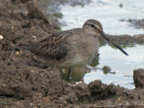 juv. Long-billed Dowitcher: Bartow Co., GA