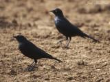 Brewer's Blackbirds: Bartow Co., GA