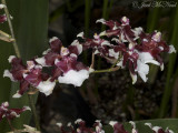 Oncidium 'Heaven Scent'