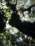 Tropical hardwood hammock canopy