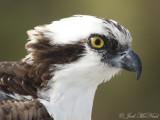 Hawks, Eagles, Kites, New World Vultures
