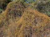 Love Vine: Cassytha filiformis