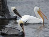 Pelicans, Herons, Ibises, etc.
