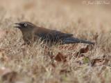 Rusty Blackbird: Bartow Co., GA