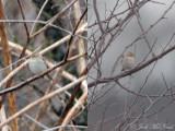 Clay-colored Sparrow: Bartow Co., GA