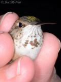 female Rufous Hummingbird: Bartow Co., GA