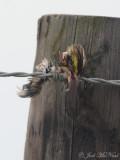 Savannah Sparrow head impaled by Loggerhead Shrike: Bartow Co., GA