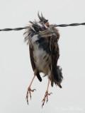 Savannah Sparrow headless body impaled by Loggerhead Shrike: Bartow Co., GA
