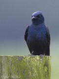 male Purple Martin