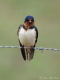 angry Barn Swallow