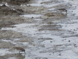 adult Least, Semipalmated, and Western Sandpipers: Bartow Co., GA