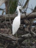juvenile Little Blue Heron; Bartow Co., GA