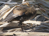 Virginia Rail: Rallus limicola, Kachina Wetlands- Flagstaff, AZ
