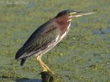Green Heron: Bartow Co., GA