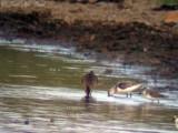 Sanderling: Bartow Co., GA