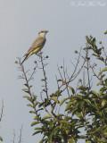 Western Kingbird: Bartow Co., GA