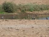 5 American Golden Plovers: Bartow Co., GA