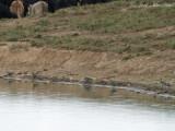 5 (of 6) American Golden Plovers: Bartow Co., GA