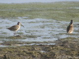 juv. Short-billed Dowitchers: Bartow Co., GA
