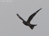 Common Nighthawk: Bartow Co., GA