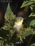 Tennessee Warbler: Bartow Co., GA