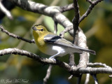 Yellow-throated Vireo: Bartow Co., GA