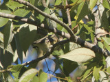 Warbling Vireo: Vireo gilvus, Bartow Co., GA
