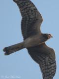 Northern Harrier: Bartow Co., GA