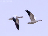 juv. Ross's Geese: Bartow Co., GA