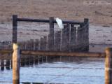 late Great Egret: Bartow Co., GA