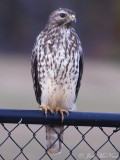 juv. Red-shouldered Hawk: Bartow Co., GA