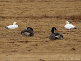 Snow & Ross's Goose with Canada Geese: Bartow Co., GA