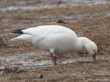 Ross's Goose: Bartow Co., GA